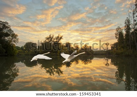 flying swans - stock photo