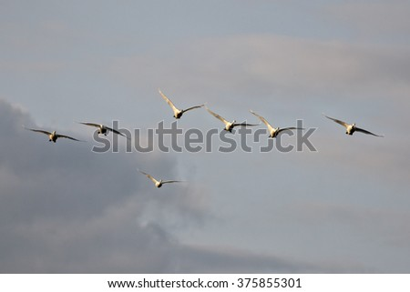 Flying swans on a background of the sky in summer. - stock photo