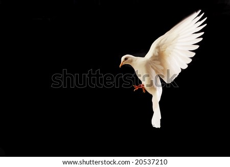 flying white dove isolated on black background - stock photo