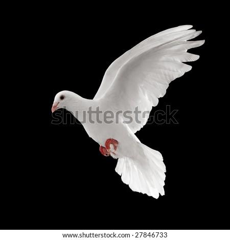flying white dove isolated on black background - stock photo