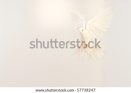 flying white dove isolated on white
