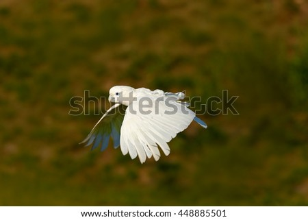 Flying white parrot. Solomons cockatoo, Cacatua ducorpsii, flying white exotic parrot, bird in the nature habitat, action scene from wild, Australia. Bird in fly. White animal from forest. - stock photo