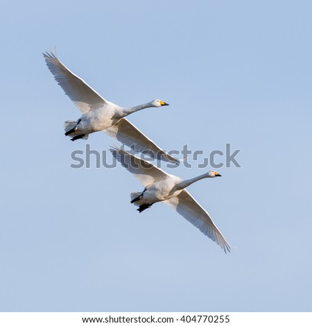 Flying whooper swans (Cygnus cygnus) in nature - stock photo