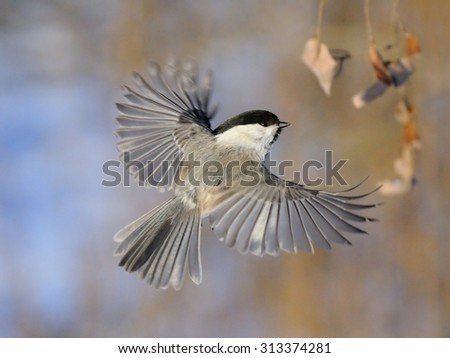 Flying Willow Tit (Poecile montanus, Poecile montana, Parus montanus) in winter. Moscow region, Russia - stock photo