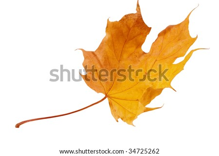 Flying yellow and red autumn maple leaf (isolated on white) - stock photo