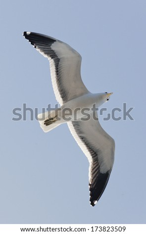 Flying Young Cape Gull, False Bay, South Africa, Africa - stock photo