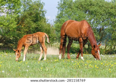Foal and a mare grazing in the pasture. - stock photo