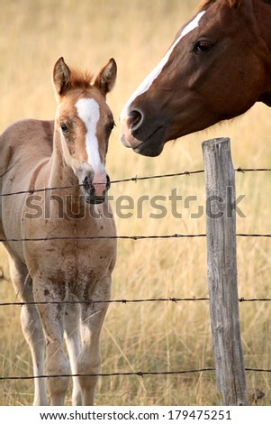 Foal and mare in a Saskatchewan pasture - stock photo