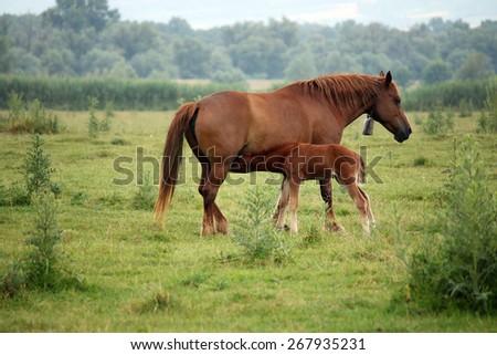 foal breastfeeding in the field - stock photo