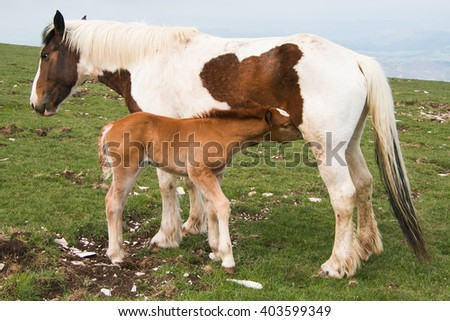 Foal drinking milk from her mare - stock photo