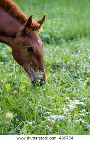 foal feeding on grass