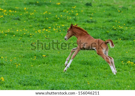 Foal first time in the meadow - stock photo