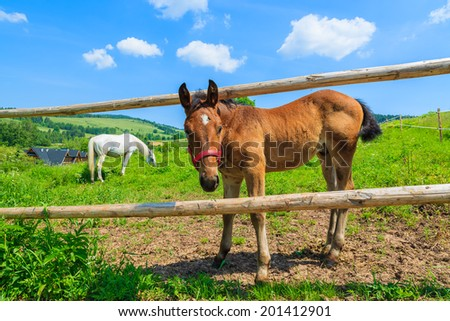 Foal horse behind a wooden fence on green pasture of a farm, country summer landscape of Beskid Niski Mountains, Poland - stock photo