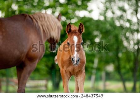 foal horse grazing in a meadow in the meadow - stock photo