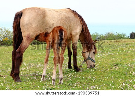 Foal is Suckling the Milk - stock photo