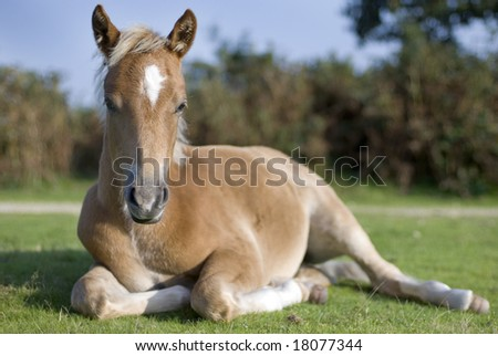 Foal laying in pasture, New Forest, England - stock photo