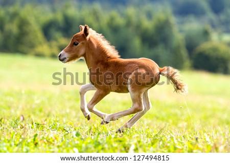 foal mini horse Falabella - stock photo