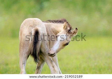 Foal of a horse scratching a leg - stock photo