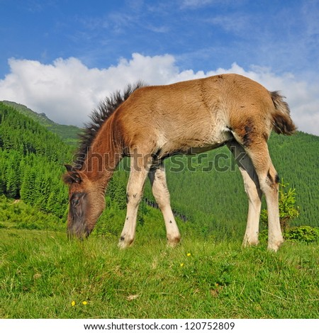 Foal on a summer mountain pasture