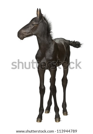 Foal, 1 week old, standing against white background - stock photo