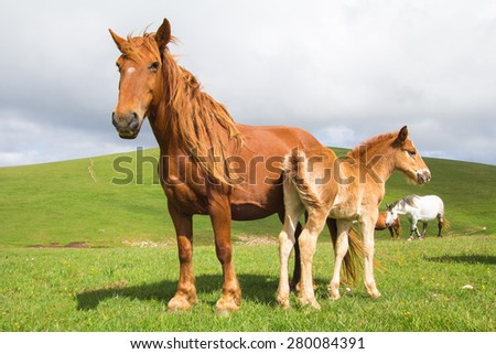 Foal with her mare on a summer pasture - stock photo
