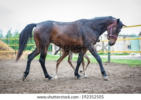 Foal with his mother-mare walks in paddock - stock photo