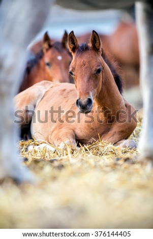 Foals lying on hay outdoors - stock photo