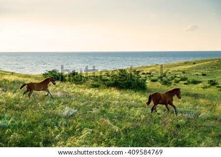 foals running field sunset - stock photo