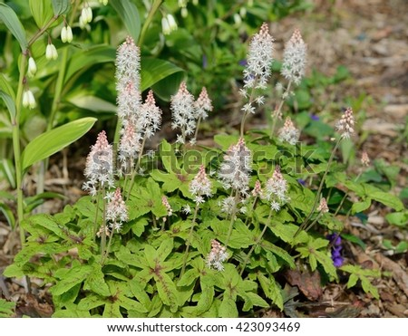 Foamflower (Tiarella) is a Perennial Flower That Grows in Shady Areas - stock photo