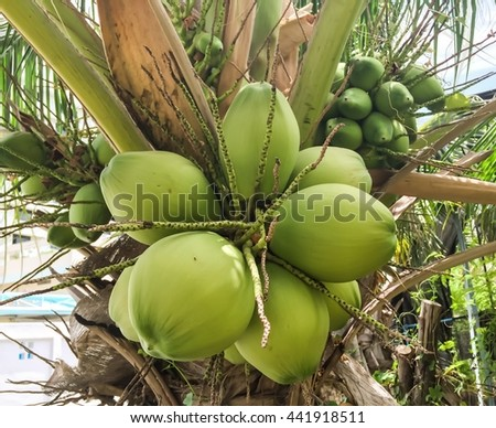 Focus many coconuts on coconut tree  - stock photo