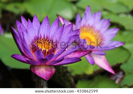 Focus on a beautiful blooming of purple water lily - stock photo