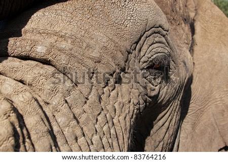 focus on an elephant's head and eye - stock photo