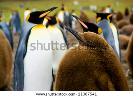 Focus on Baby King Penguin with colony in the background - stock photo