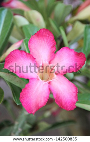 Focus Pink desert rose in the garden.