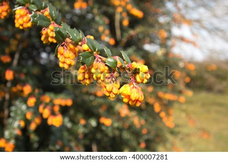 focused and unfocused florets and shiny leaves of a Berberis Darwini
