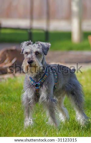 Focused miniature schnauzer dog standing on the lawn in the backyard - stock photo