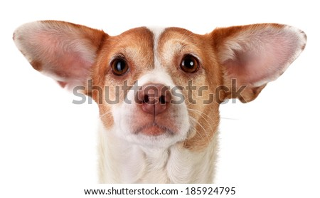 Focused mongrel dog with huge ears - stock photo