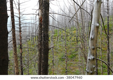 Fog among the fire-damaged trees of a forest - stock photo