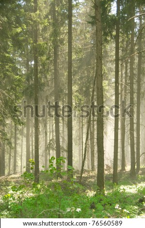 Fog in the fir forest. Pollen of flowering firs. - stock photo
