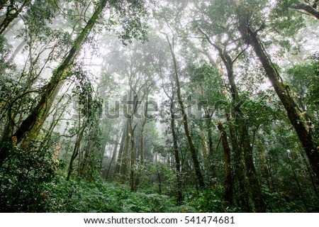 Fog in the forest  Fog ancient Forest tree Fern Fern Tree rainforest  big tree green nature Northern part of Thailand Doi Inthanon winter
