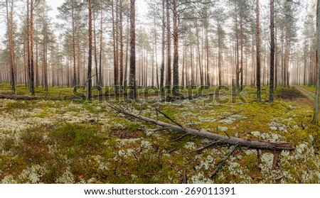 Fog in the pine forest. Landscape. - stock photo