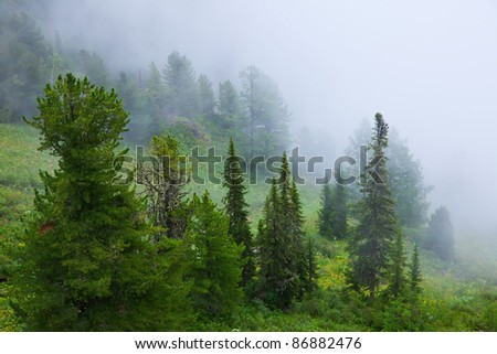 fog landscape  with cedar forest. Altai, Siberia - stock photo