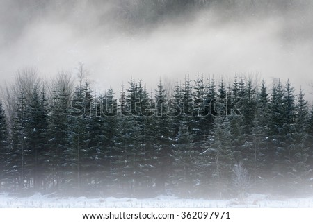 Foggy Forest. Fog envelops a stand of fir trees in the North Cascade mountains along the Mt. Baker Highway in western Washington state. - stock photo