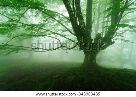 foggy forest in the spring