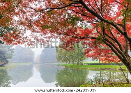 Foggy morning beautiful maple trees in autumn - stock photo