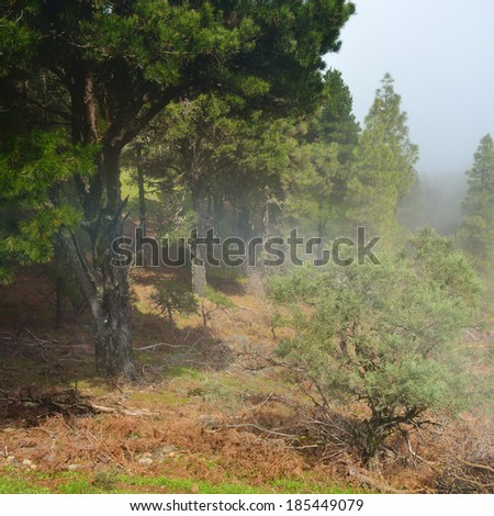 Foggy morning in a pine forest, Gran Canaria, Spain - stock photo