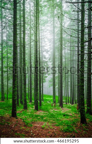 Foggy morning in piny forest with green grass and high tree trunks forests sunrise landscape shining sunlight rays throw pine trees crowns