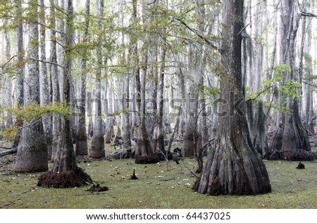Foggy Morning in the Bald Cypress Swamp - stock photo