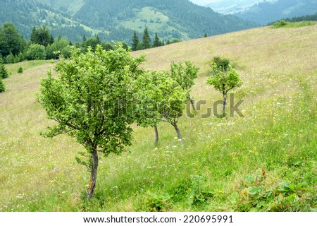 Foggy morning landscape with apple trees at meadow and pine tree highland forest. Carpathian mountains. Ukraine destinations and travel background - stock photo