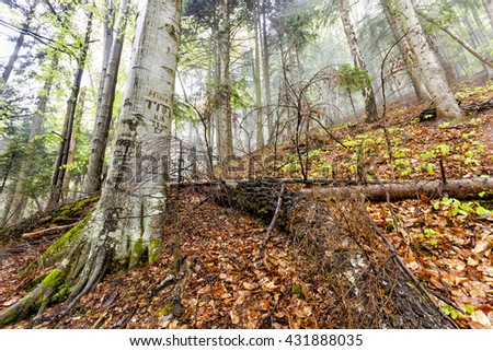 Foggy natural forest with fallen trees and tree with signs cuts in bark in Romanian Carpathian mountains - stock photo